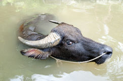 Asian water buffalo Royalty Free Stock Photography