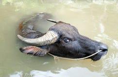 Asian Water Buffalo Royalty Free Stock Photography