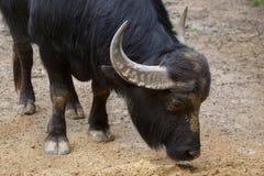Asian water buffalo (Bubalus bubalis). Also known as the domestic water buffalo. Domestic animal Stock Image