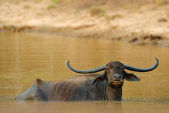Asian water buffalo, Bubalus bubalis, in brown water pond. Wildlife scene, summer day with river. Big animal in the nature habitat Stock Photo