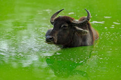 Asian water buffalo, Bubalus bubalis, in green water pond. Wildlife scene, summer day with river. Big animal in the nature habitat Stock Photos