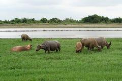 Asian water buffalo or bubalus bubalis Stock Photography
