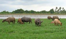 Asian water buffalo or bubalus bubalis. In paddock Stock Photo