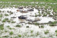 Asian water buffalo or bubalus bubalis Royalty Free Stock Photos