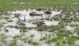 Asian water buffalo or bubalus bubalis. In swamp Stock Images