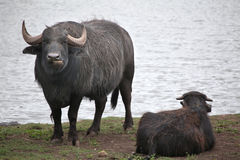Asian water buffalo (Bubalus bubalis). Royalty Free Stock Image