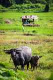 Asian water buffalo. On the field Royalty Free Stock Photos