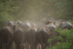 Asian water buffalo going to home Royalty Free Stock Image