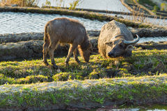Asian water buffalo on rice fields of terraces Royalty Free Stock Photography