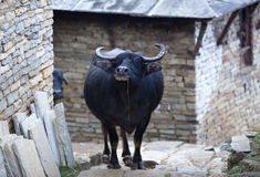 Asian water buffalo. Walking on a street in Nepalese village on Annapurna Circuit trek Stock Photo
