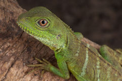 Asian water dragon Stock Images
