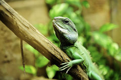 Asian Water Dragon Royalty Free Stock Photo