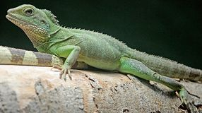 Asian water dragon 3 Stock Images