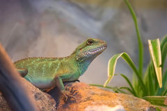 Asian water dragon Stock Photo