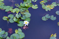 Asian water lily pond. Nature, water lily pond, on asian land Royalty Free Stock Photography