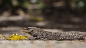 Asian Water monitor Stock Photo
