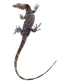 Asian Water Monitor Stock Images