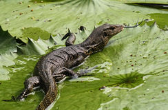 Asian water monitor lizard Stock Photo