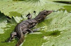 Asian water monitor lizard Stock Photo