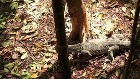 Asian water monitor lizard cruising mangrove forest stock video