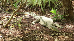 Asian water monitor lizard rests under the sunlight stock video footage