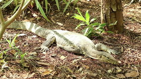 Asian water monitor lizard rests under the sunlight. Asian water monitor lizard, Varanus salvator, rests under the sunlight stock video footage