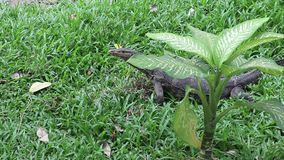 Asian water monitor lizard behind dumb cane plant. Asian water monitor lizard, Varanus salvator, hunting prey behind large dumb cane plant, Dieffenbachia stock footage
