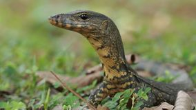 Asian water monitor - Varanus salvator also common water monitor, large varanid lizard native to South and Southeast Asia