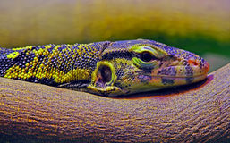 Asian water monitor varanus salvator lizard Stock Photography