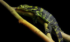 Asian water monitor varanus salvator lizard. Colorful asian water monitor varanus salvator lizard resting on a tree branch against dark background Royalty Free Stock Photo