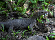 Asian water monitor (Varanus salvator) Stock Image