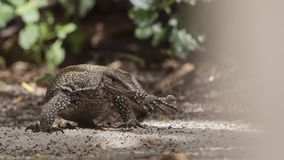 Asian Water Monitor Walking Stock Photos
