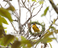 Asian Weaver Bird. Building its nest in thailand Royalty Free Stock Photography