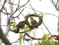 Asian Weaver Bird. Building its nest in thailand Stock Images