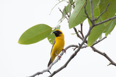 Asian Weaver Bird Stock Image