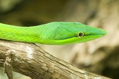 Asian whip snake, Oriental whip snake, Long-nosed Vine Snake, Gr Royalty Free Stock Photography