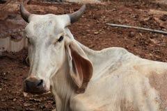 Asian white cow Royalty Free Stock Image