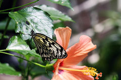 Asian white tree nymph butterfly. Asian white tree nymph on hibiscus leaf Stock Photography