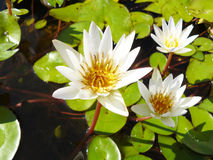 Asian white water lily Royalty Free Stock Photography