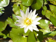 Asian white water lily Royalty Free Stock Photos