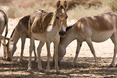 Asian wild asses Stock Images