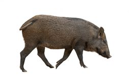 Asian wild boar isolated. On white background stock photography