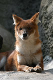 Asian Wild Dog. A dhole also known as a red dog or an Asian wild dog (Cuon alpinus) at Moscow Zoo, Russia Royalty Free Stock Images