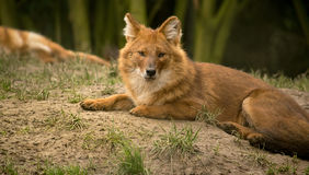 Asian wild dog or dhole Stock Image