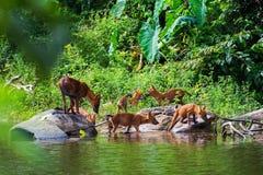 Asian wild dog family Stock Photos