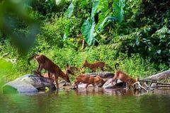 Asian wild dog family Stock Photo
