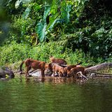 Asian wild dog family Royalty Free Stock Images