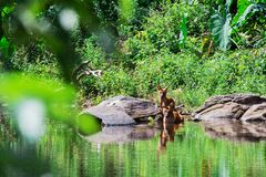 Asian wild dog family Royalty Free Stock Photos