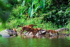 Asian wild dog family Royalty Free Stock Image