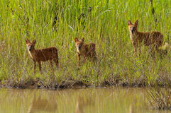 Asian wild dog Stock Photography